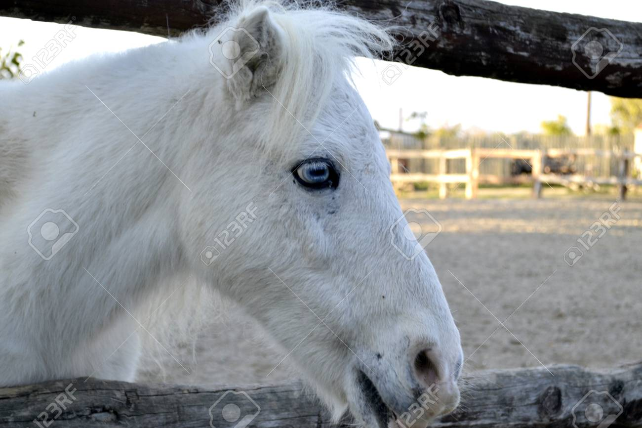 White Horse Portrait Horse With Blue Eyes Ranch Stock Photo Picture And Royalty Free Image Image 93971842