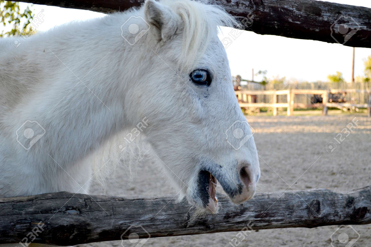 White Horse Portrait Horse With Blue Eyes Ranch Stock Photo Picture And Royalty Free Image Image 93954057