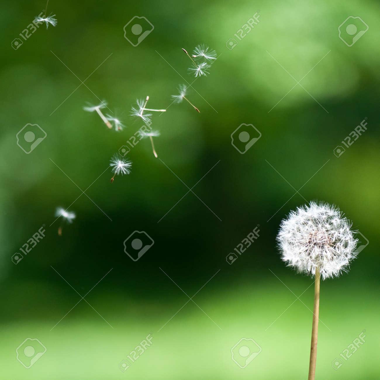 A wind blown dandelion against a green background - 14701764