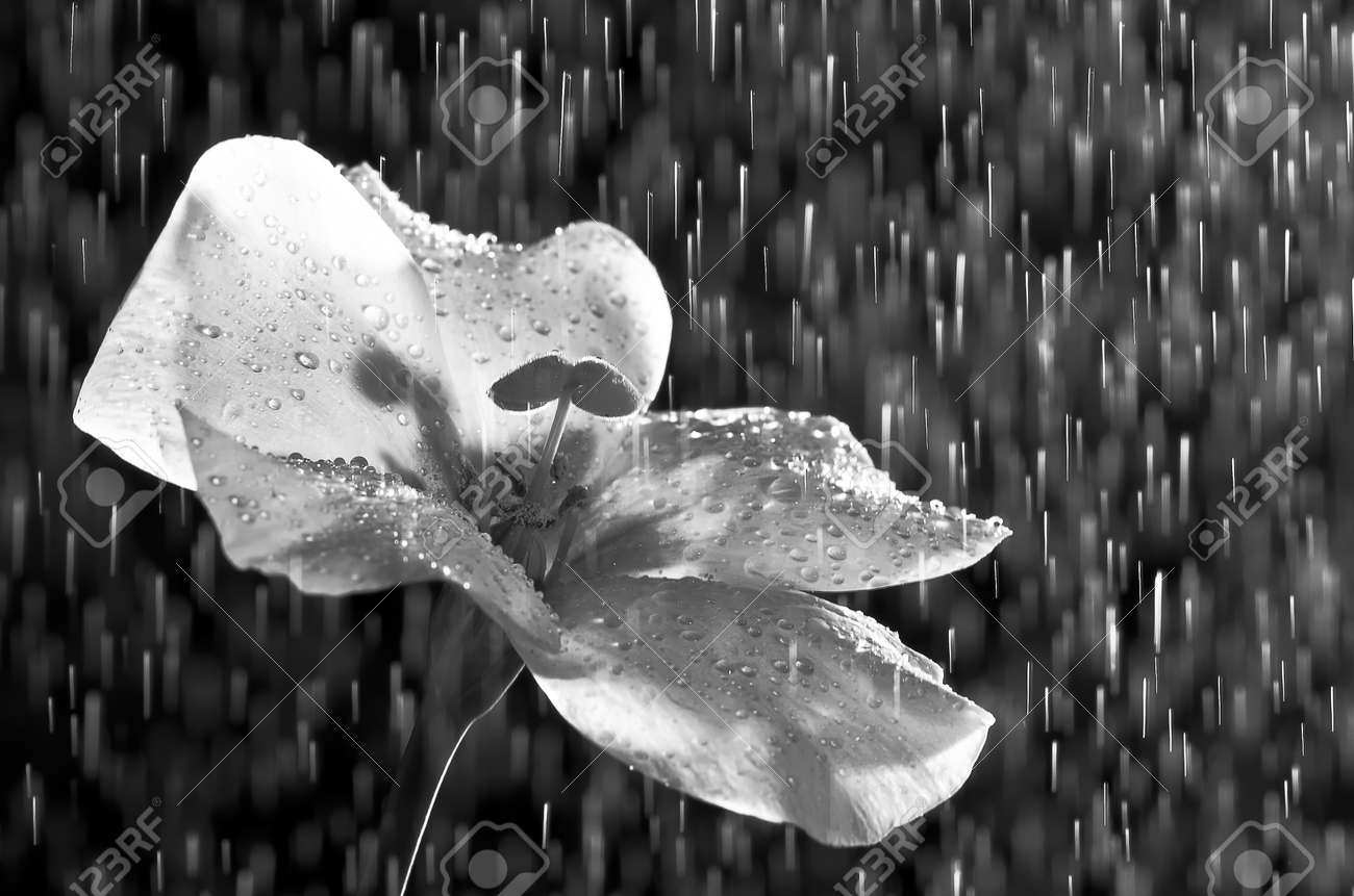Black and white flower and rain