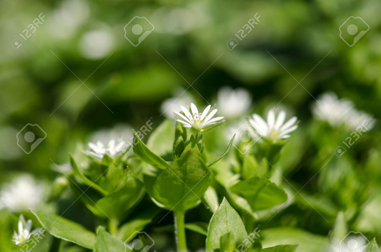 Small White Spring Flowers Against Green Background Stock Photo