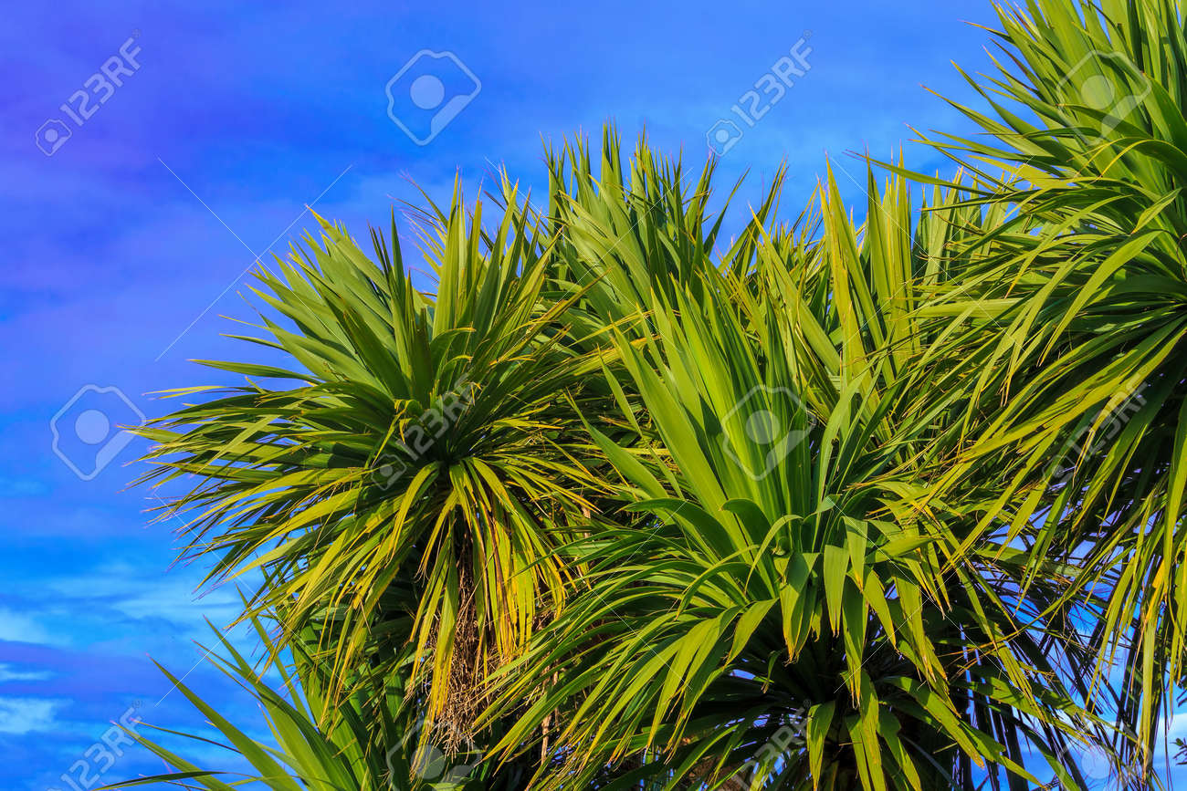 palmier nouvelle zelande