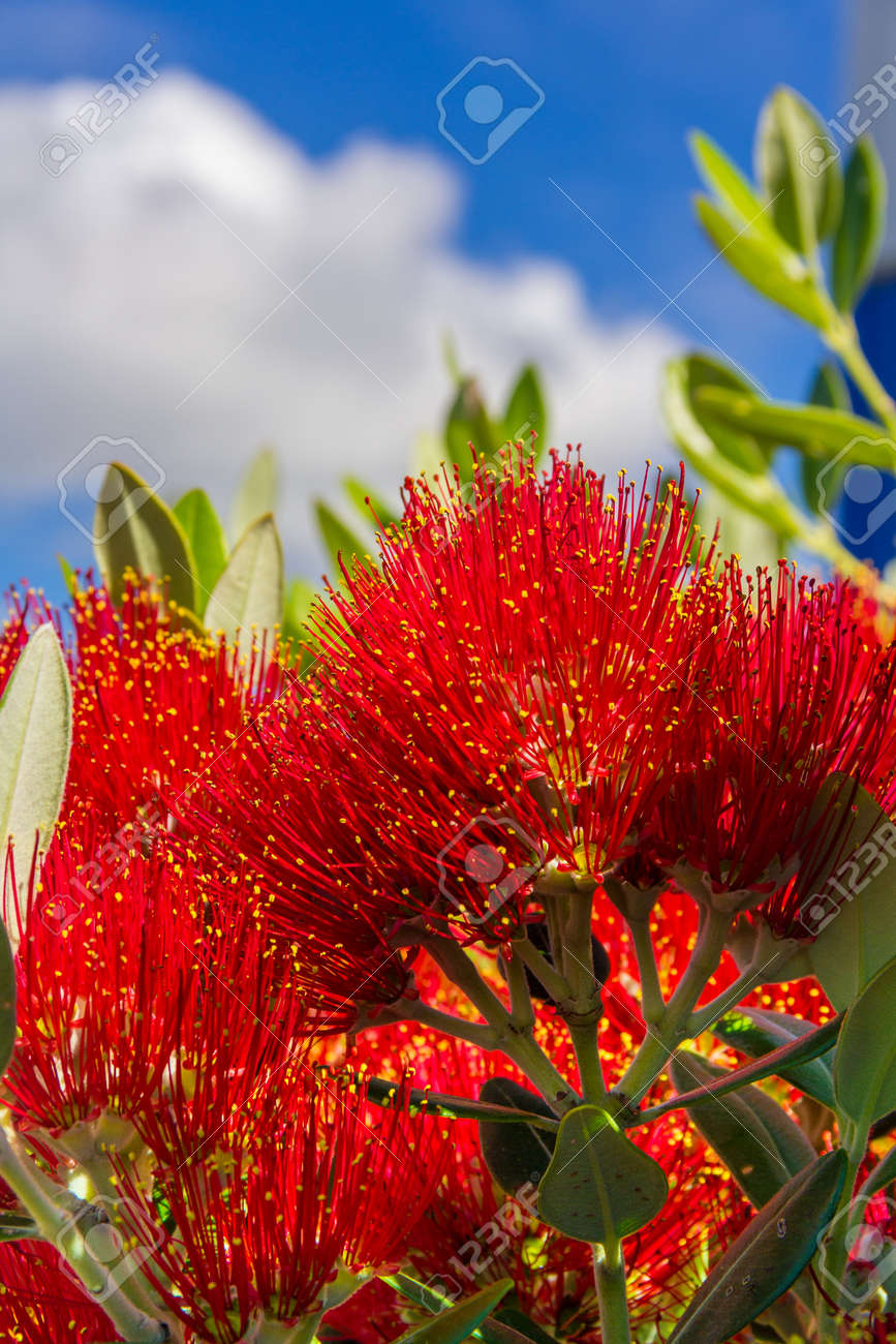 Pohutukawa New Zealand Christmas Tree With Red Flowers Photo Stock