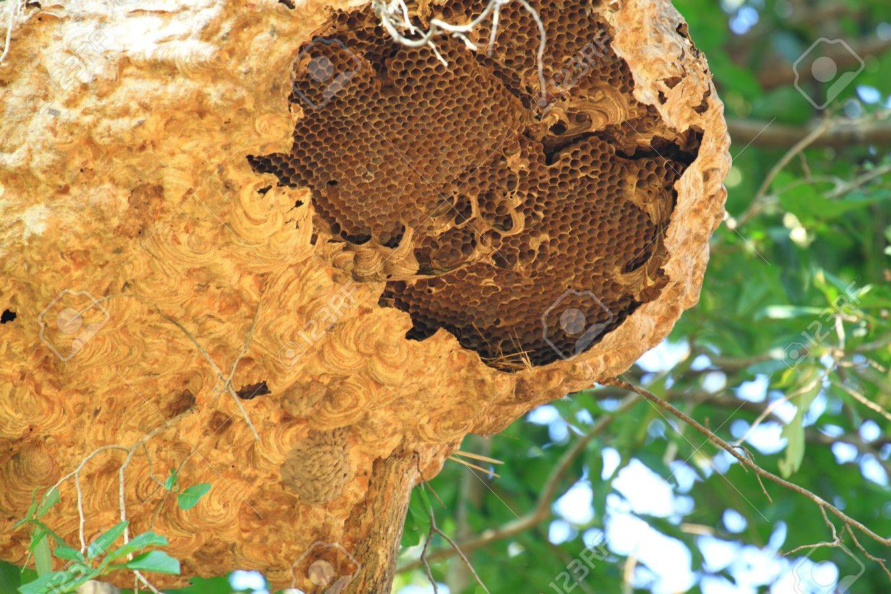 Wasp Nest On Tree Stock Photo, Picture And Royalty Free Image ...