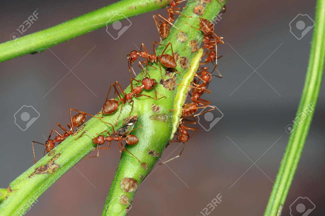 Red ant teamwork Stock Photo - 16696130
