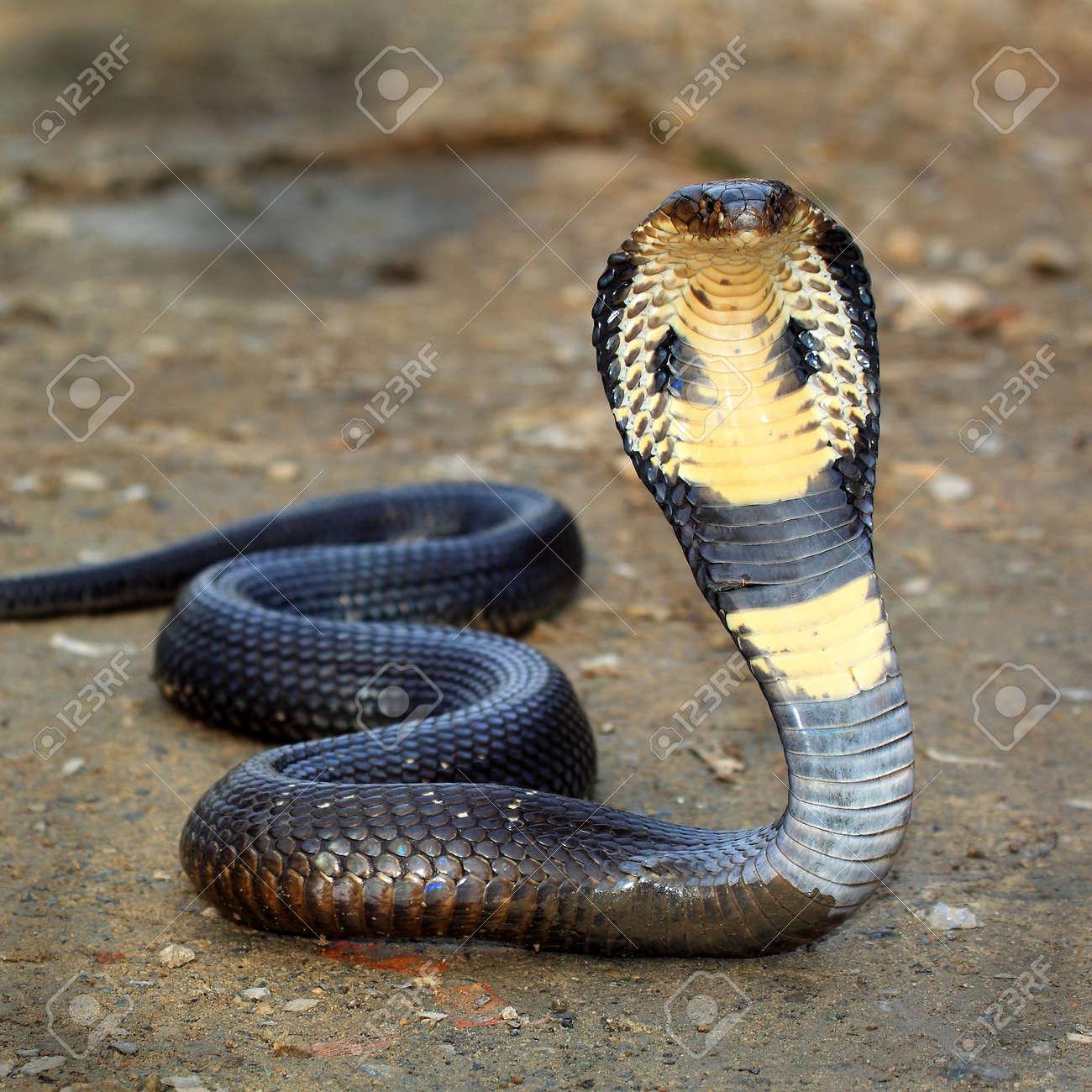 Cobra snake - 18337828