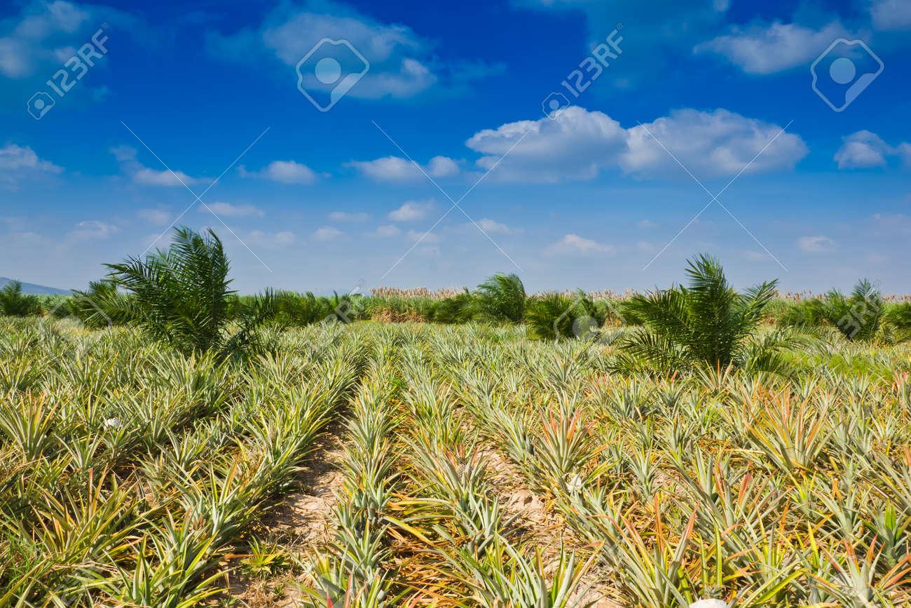pineapple field Stock Photo - 12692376