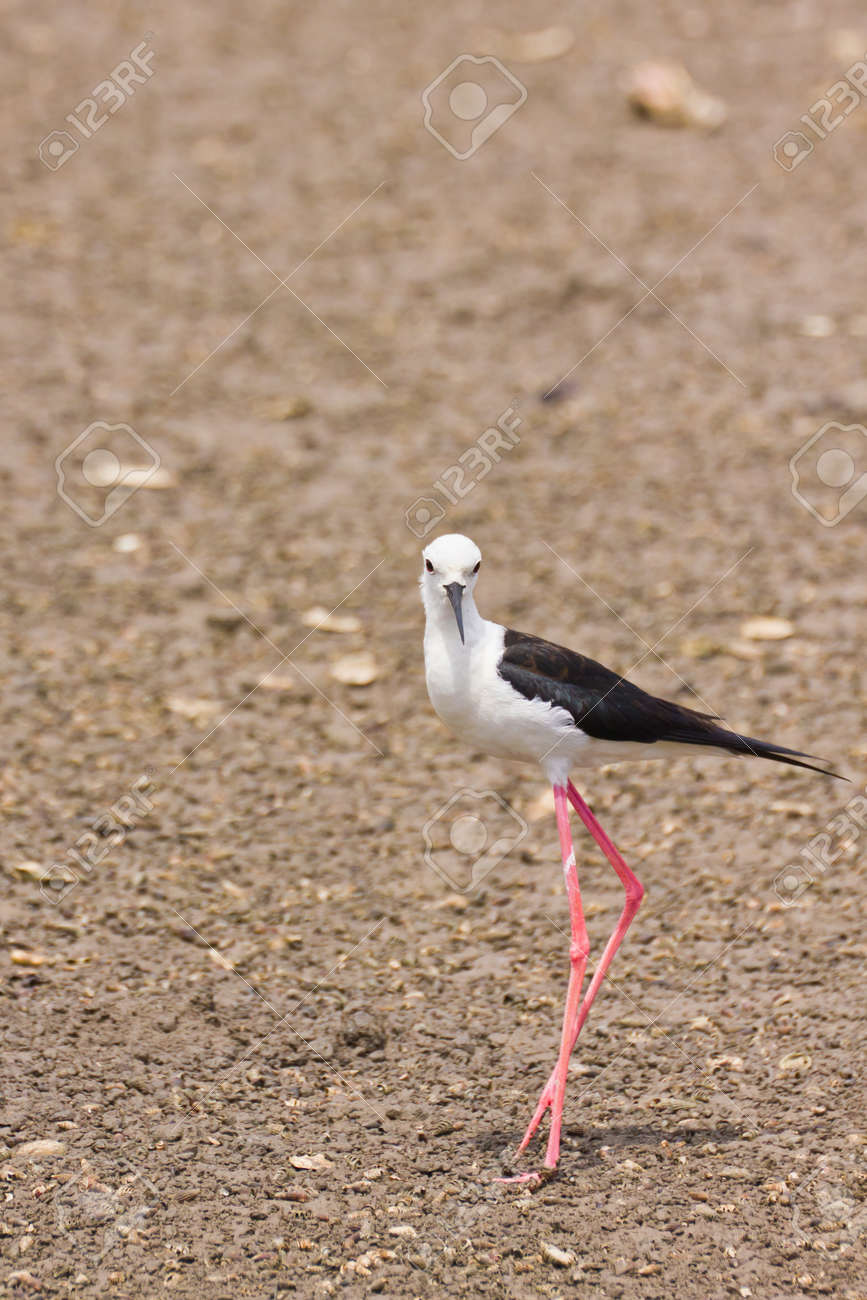 Black winged Stilt is bird in a sea coast Stock Photo - 14251952
