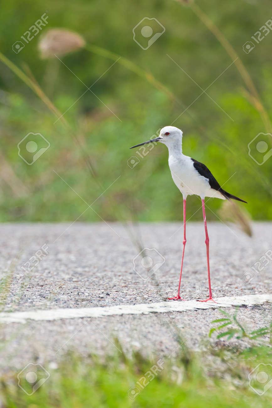 Black winged Stilt is bird in a sea coast Stock Photo - 14251943