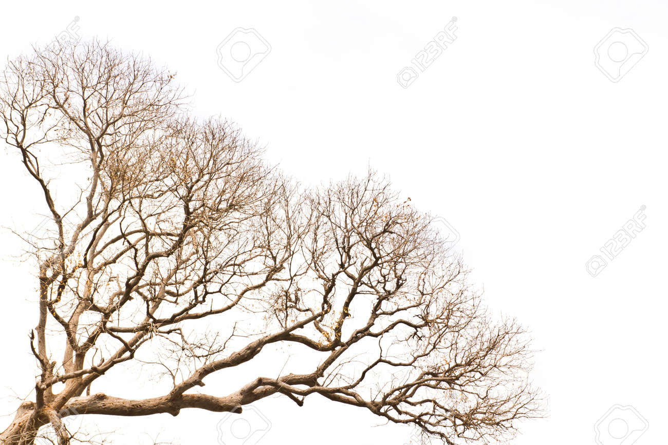 Branch Of Dead Tree On White Background Stock Photo, Picture And ...