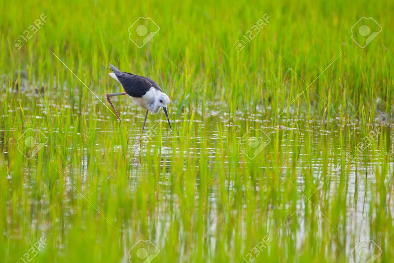 Black winged Stilt bird in paddy field Stock Photo - 14401273