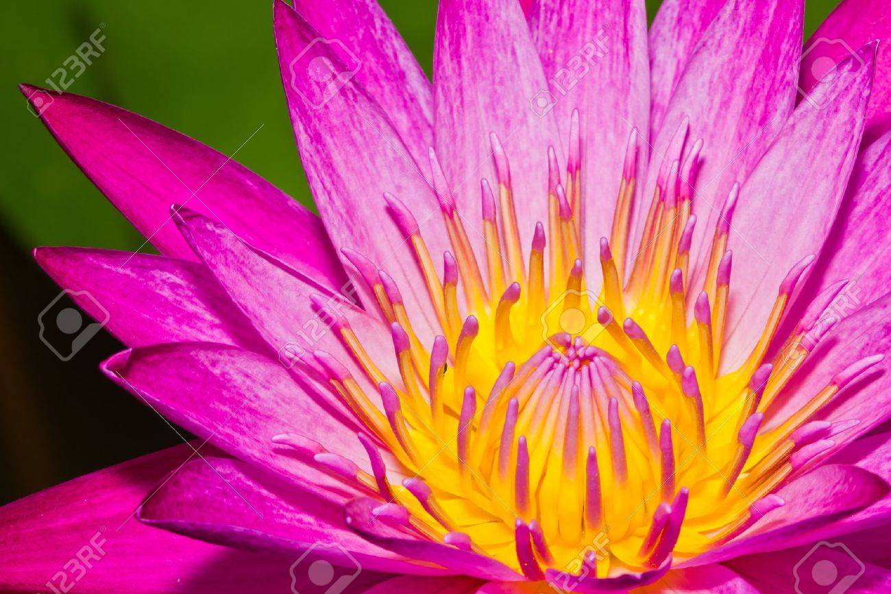 Close up of pink lotus flower in a pond Stock Photo - 14876883