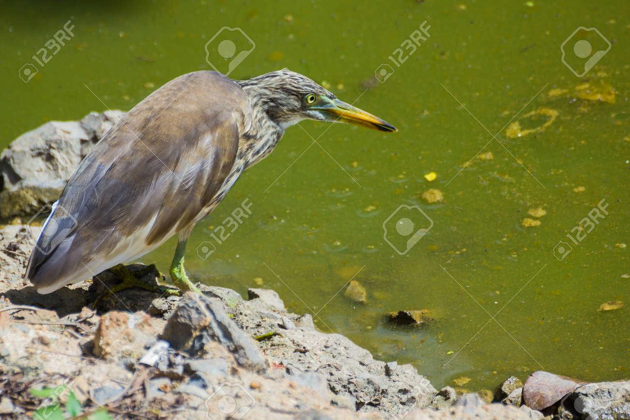 Great Bittern on the lagoon Stock Photo - 15158317