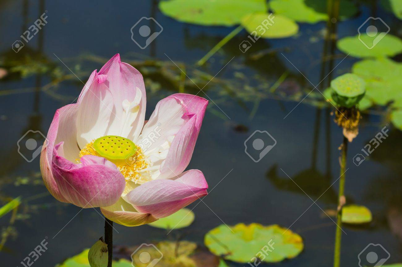 Blooming Lotus Flower And Seed Pod Stock Photo Picture And Royalty