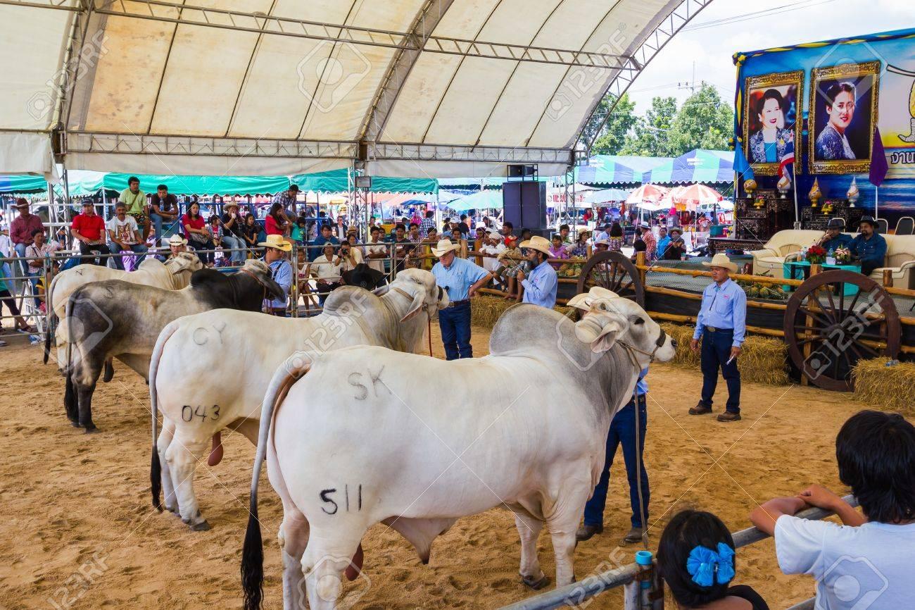 PRACHUAPKHIRIKHAN, THAILAND - DECEMBER 16 : Unidentified cows