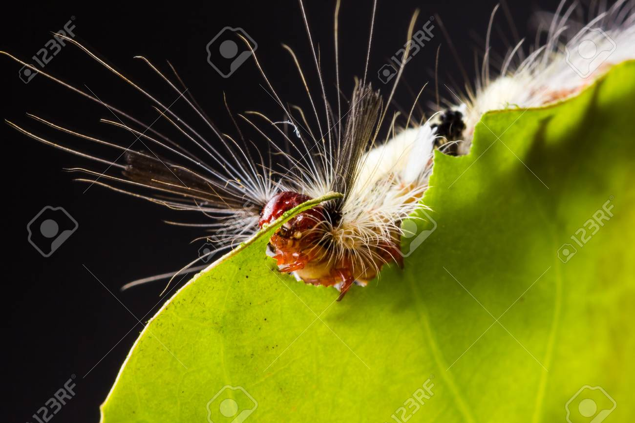 strange caterpillar with many venomous spines eating green leaf Stock Photo - 17072941