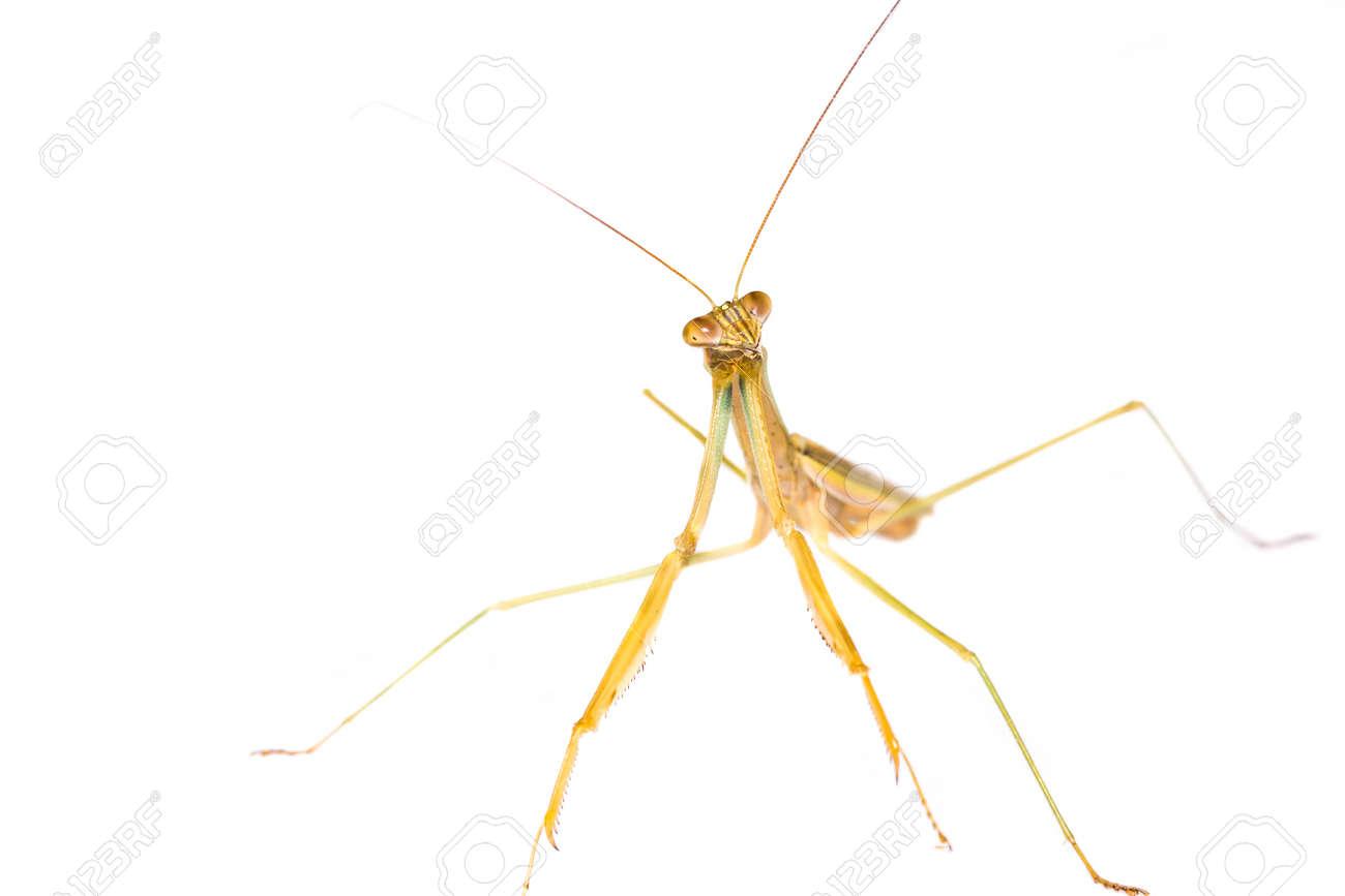 Praying Mantis isolated on white background Stock Photo - 17811855