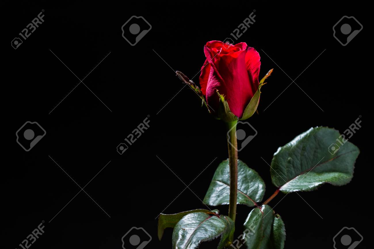 Elegant Rosa Rossa Sfondo Nero Sfondo Italiano