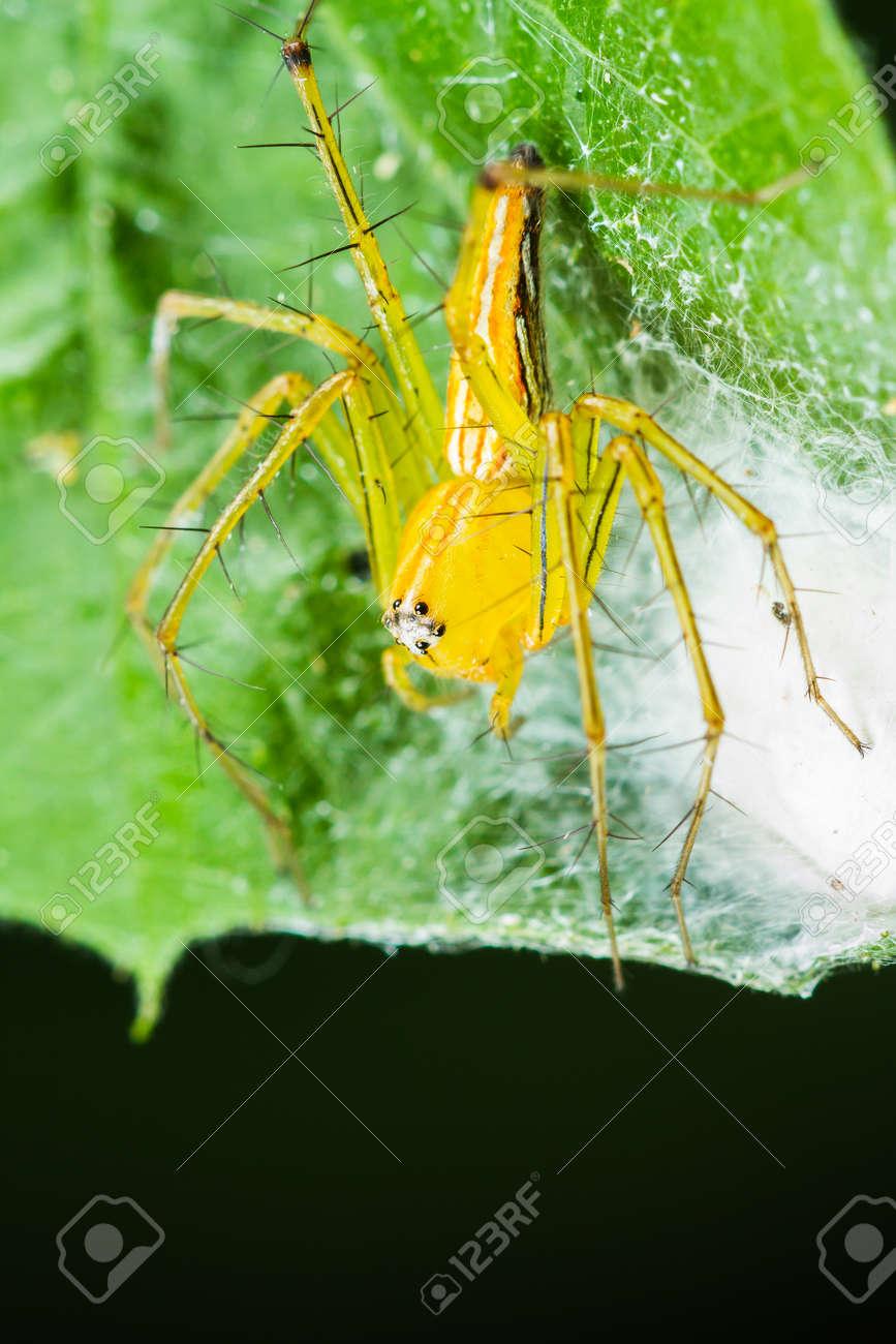 緑の葉に巣を持つ黄色のササグモ科 の写真素材・画像素材 Image 29601644.
