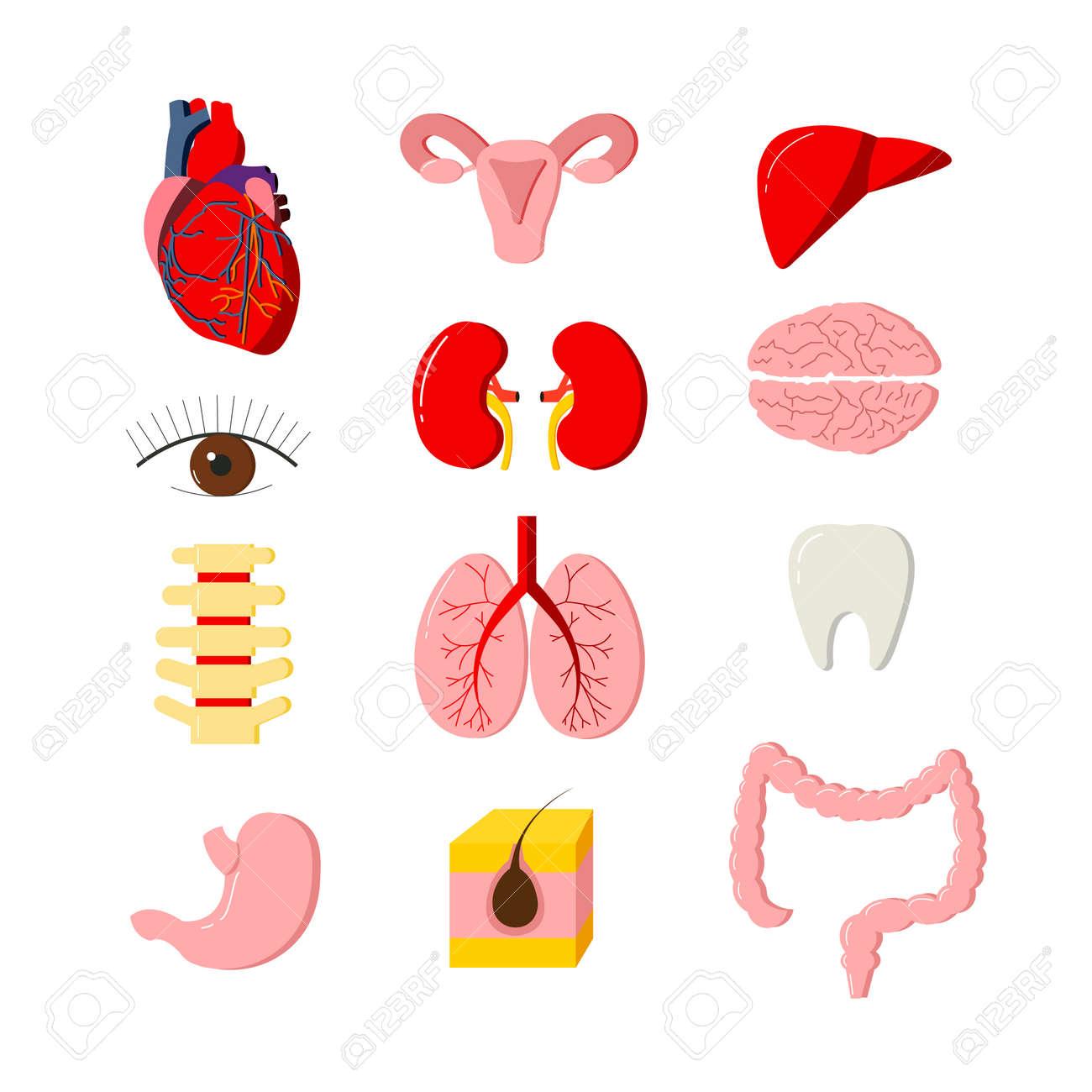 Vector Reihe Von Menschlichen Organen Des Körpers. Anatomie Design ...