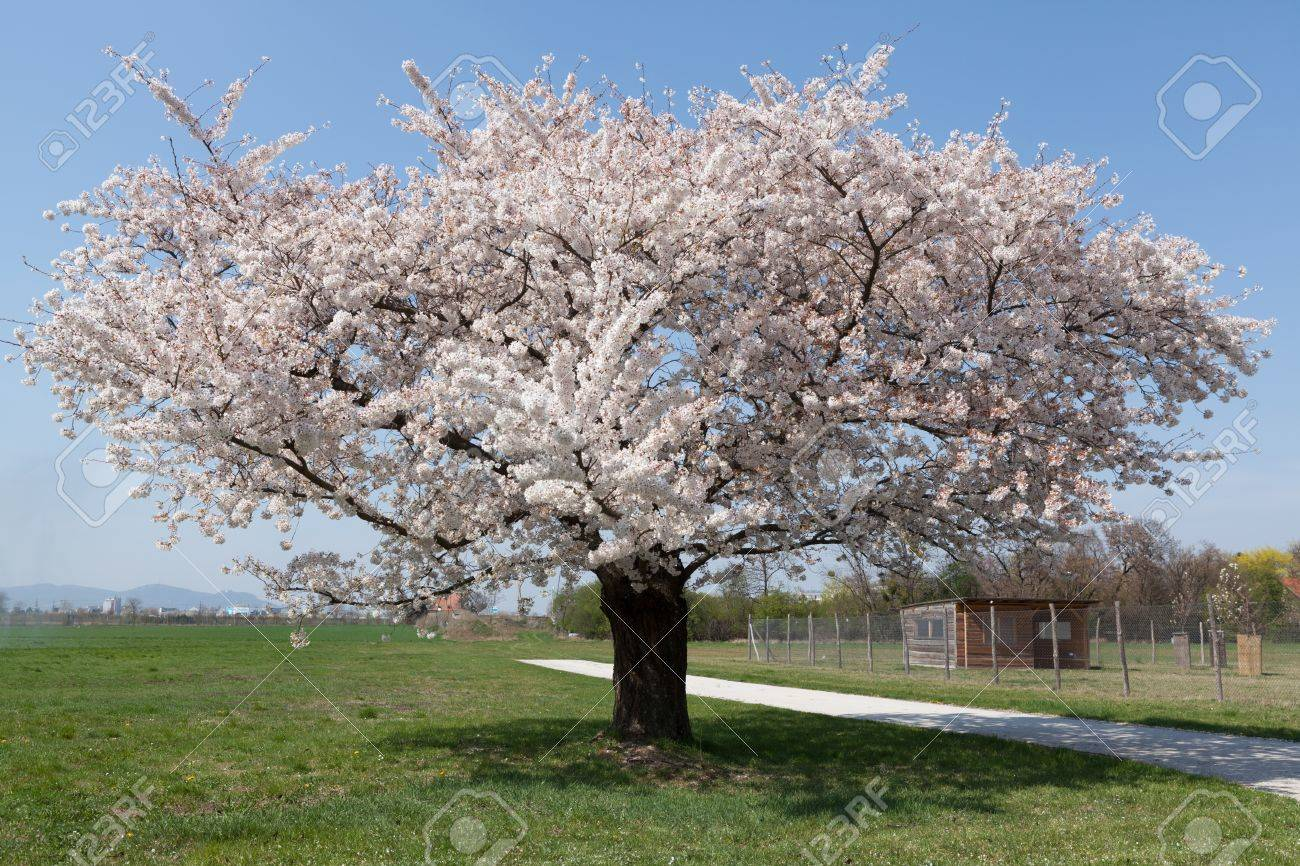 White Flowering Cherry Tree In The Spring Stock Photo Picture And