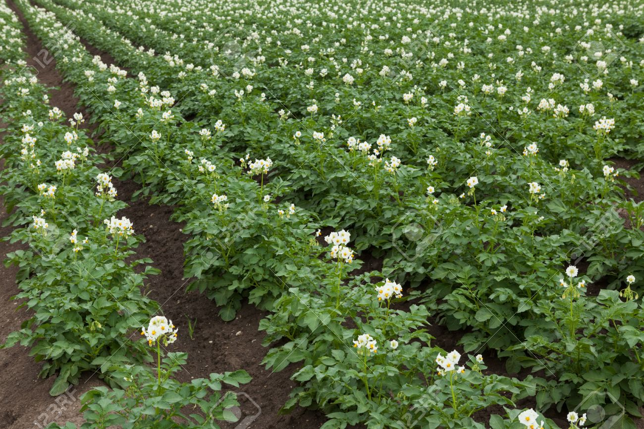 White Flowering Potato Plants On Field Stock Photo Picture And