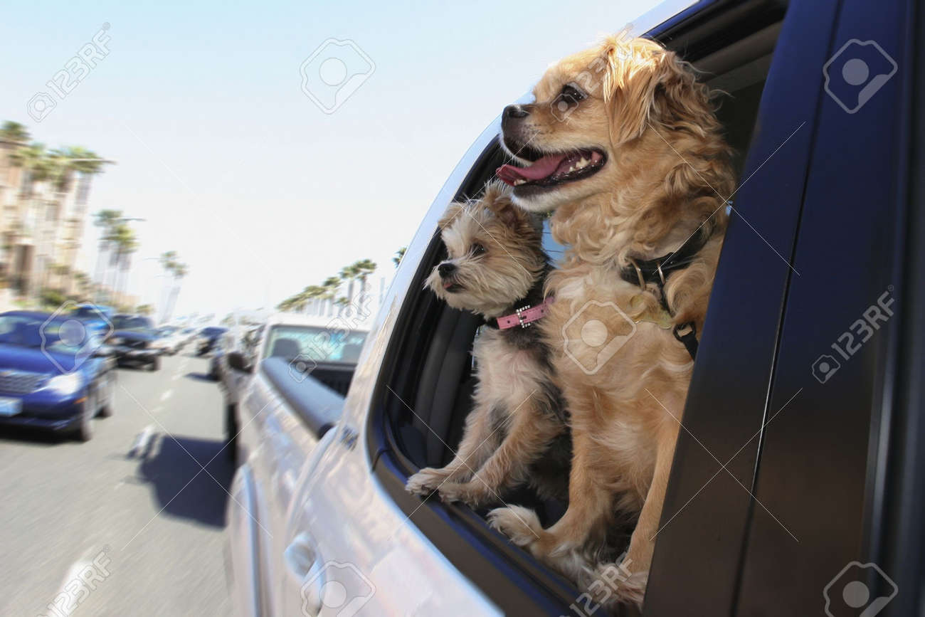 two dogs looking out car window - 3186187
