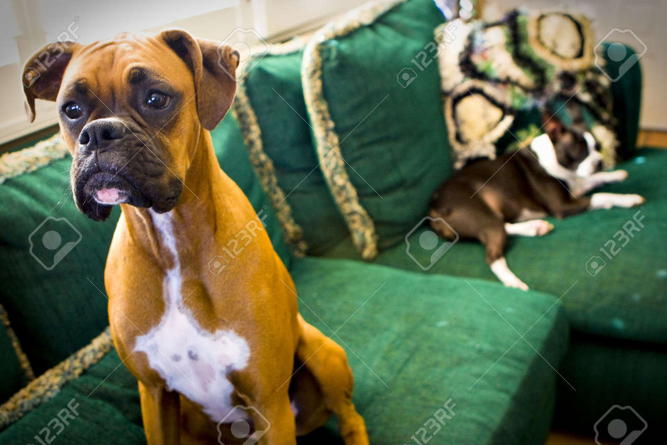 Boxer and Boston Terrier on couch - 3814353