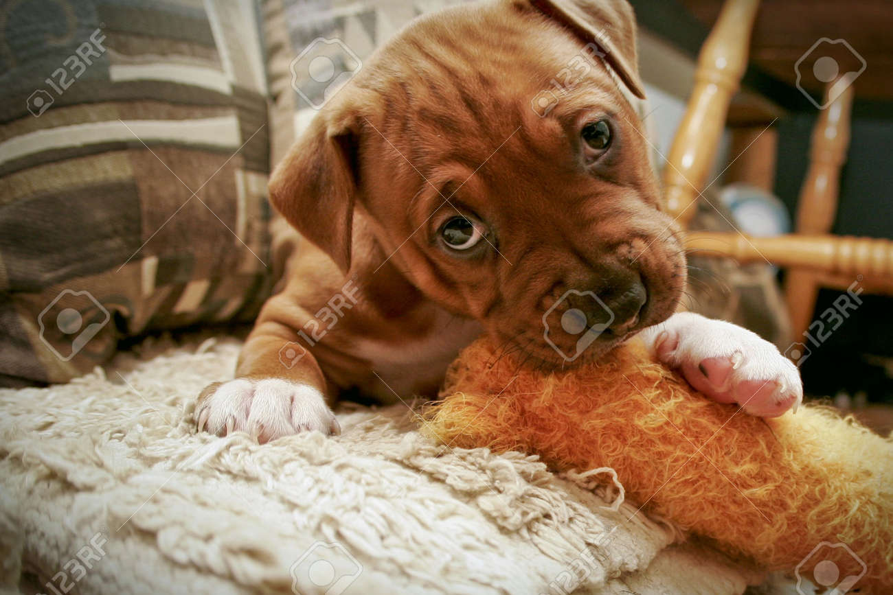 Pit Bull pup chewing toy - 4088125