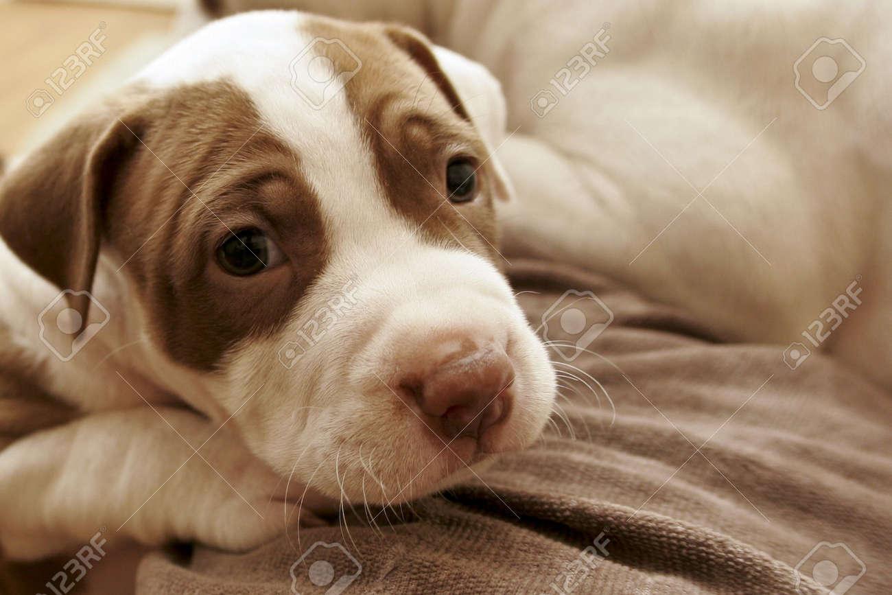Pit Bull pup on blanket - 4088121
