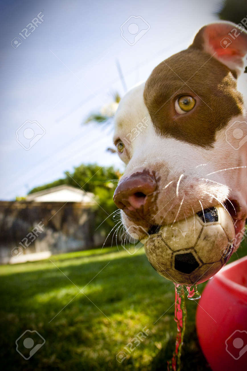 dog with soccer ball toy in mouth - 4349844