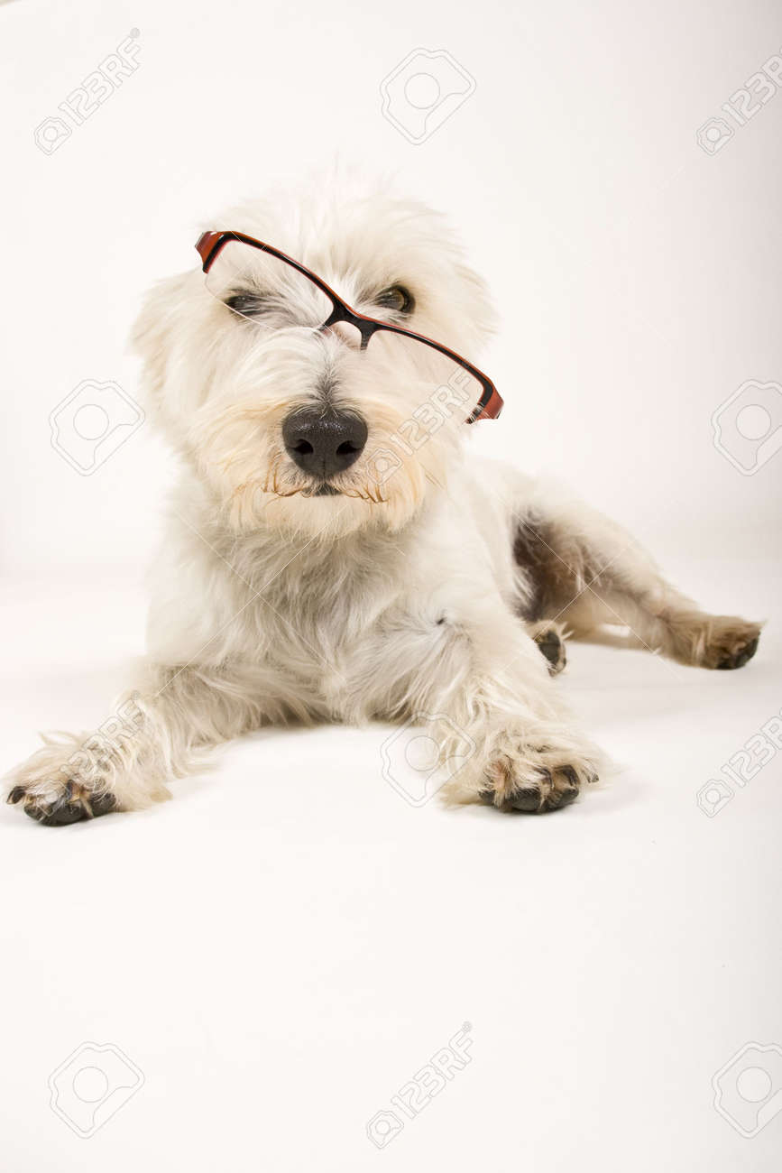 Dog Wearing Reading Glasses White Dog Wearing Reading