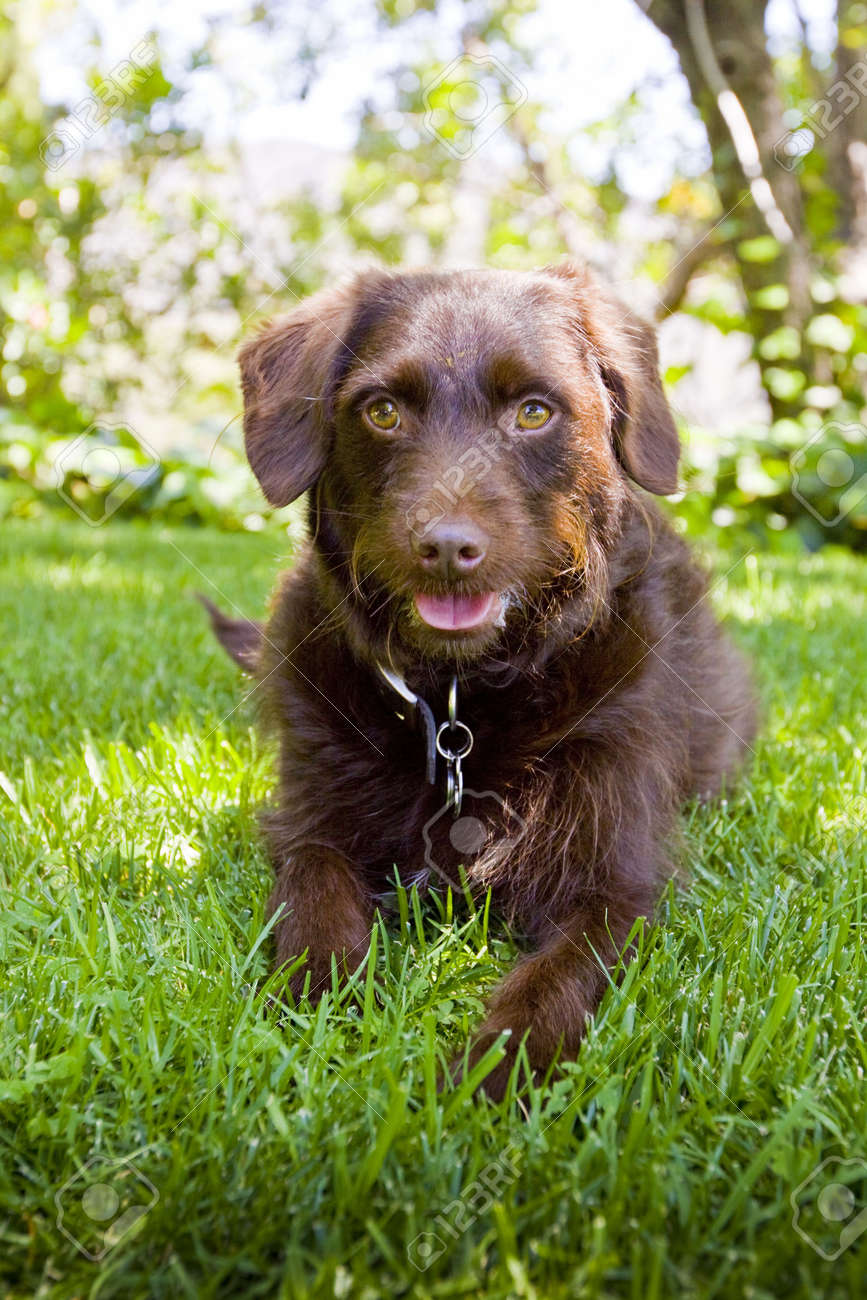 chocolate Labradoodle laying in grass - 5243777