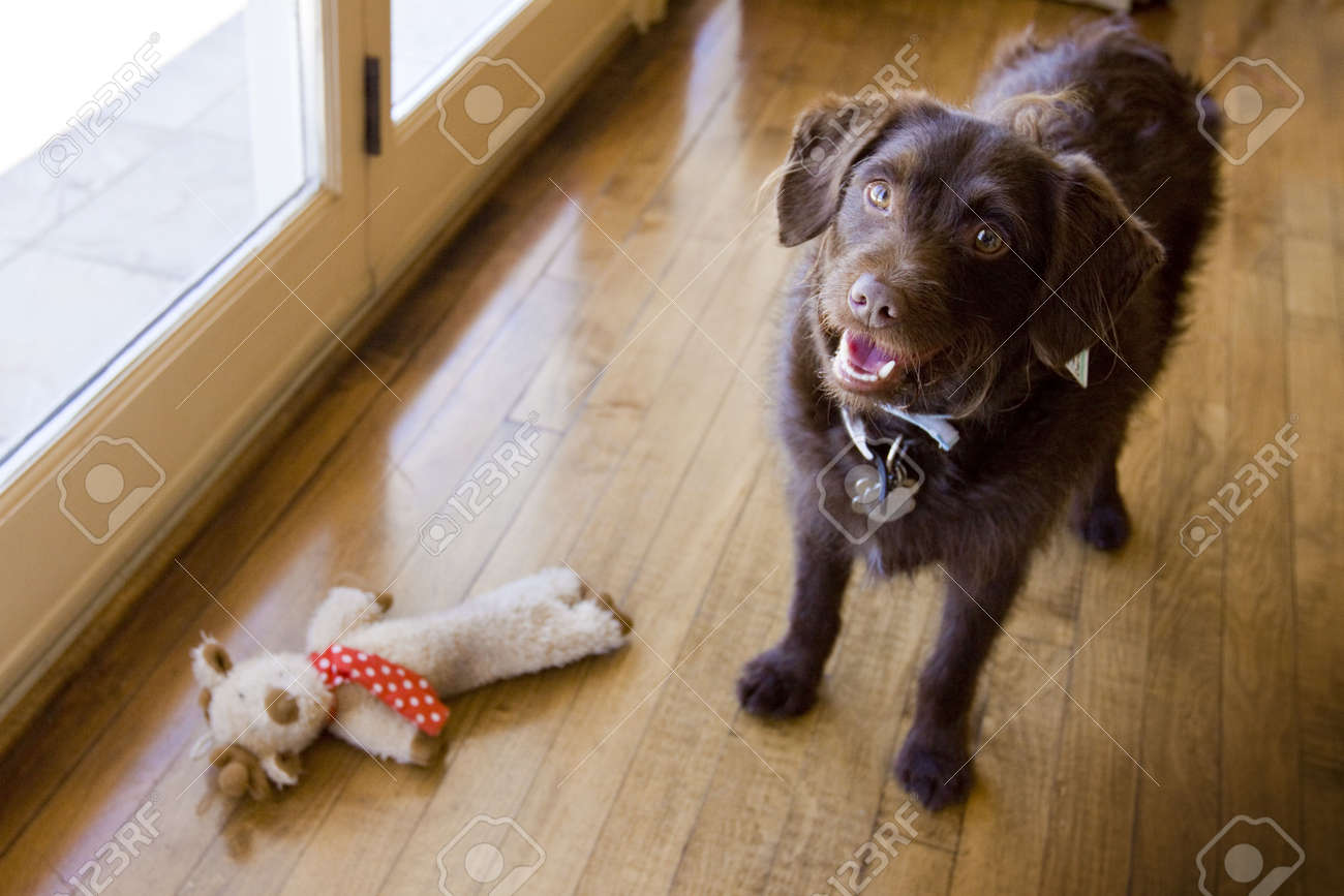 chocolate Labradoodle standing by toy - 5265759