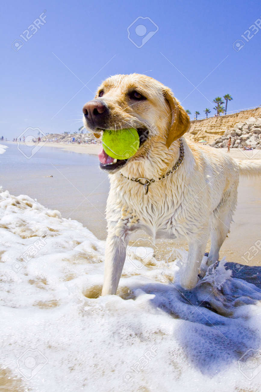 golden Labrador at the beach playing with a tennis ball in the water - 5322878