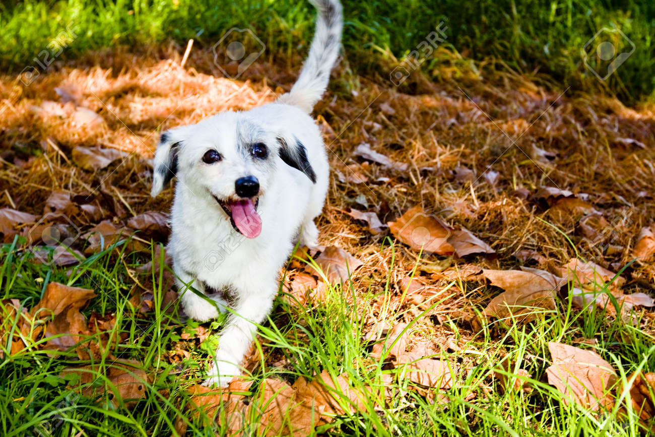 white dog in pile of leaves - 6446582
