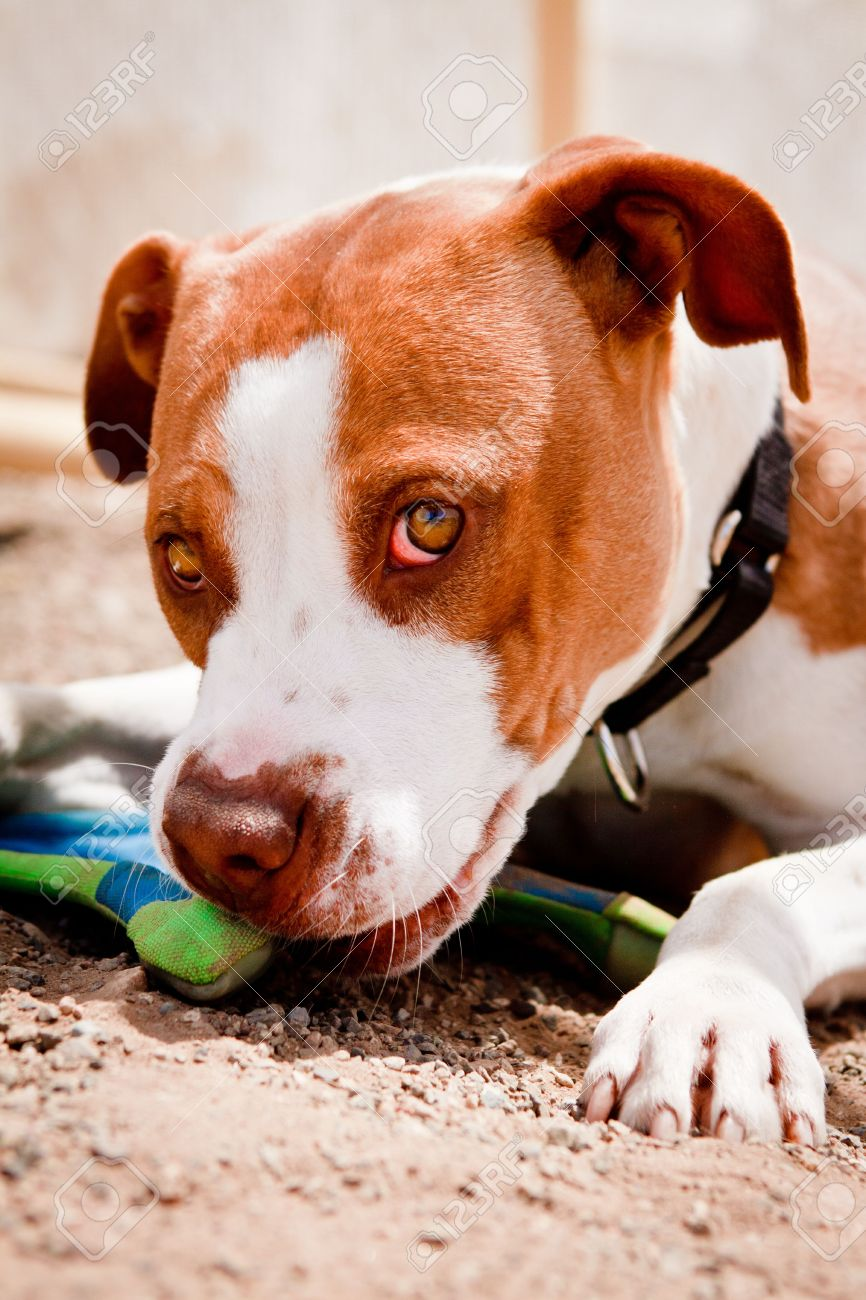 Brown and white Pit Bull chewing on toy - 7432471