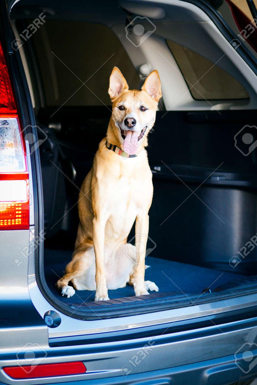 dog sitting in back of car - 12986676