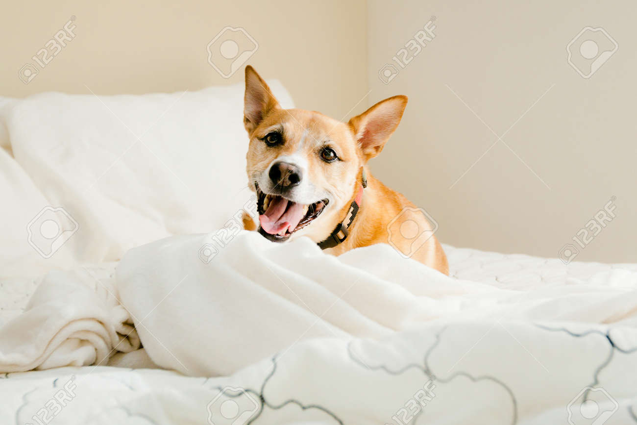 smiling dog on bed - 12906918