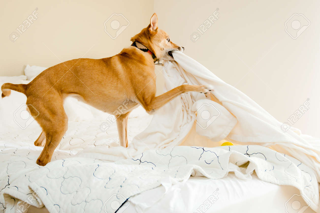 dog playing with bed sheets - 12915971