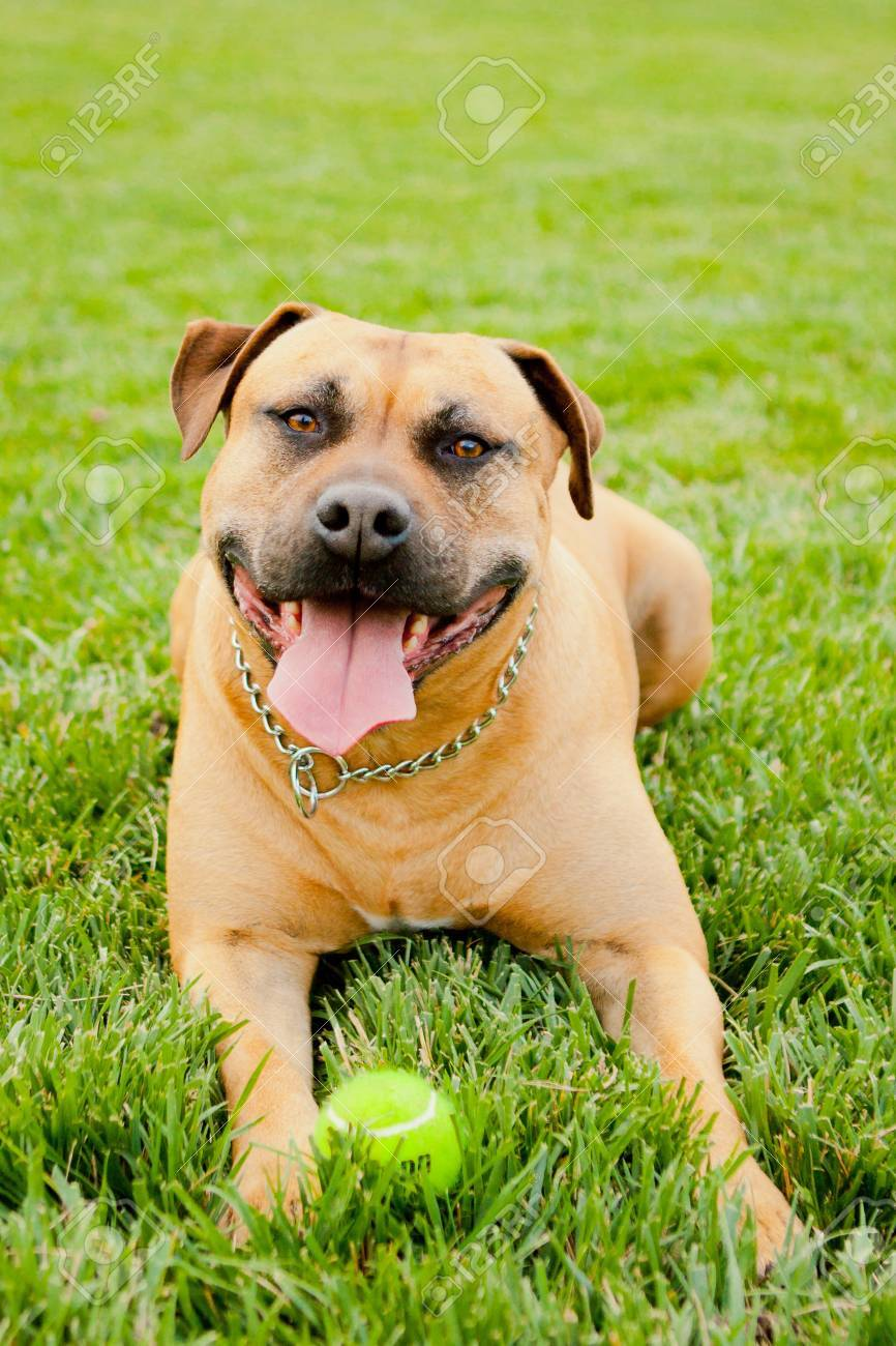 Tan American Staffordshire laying in grass with ball - 14383187