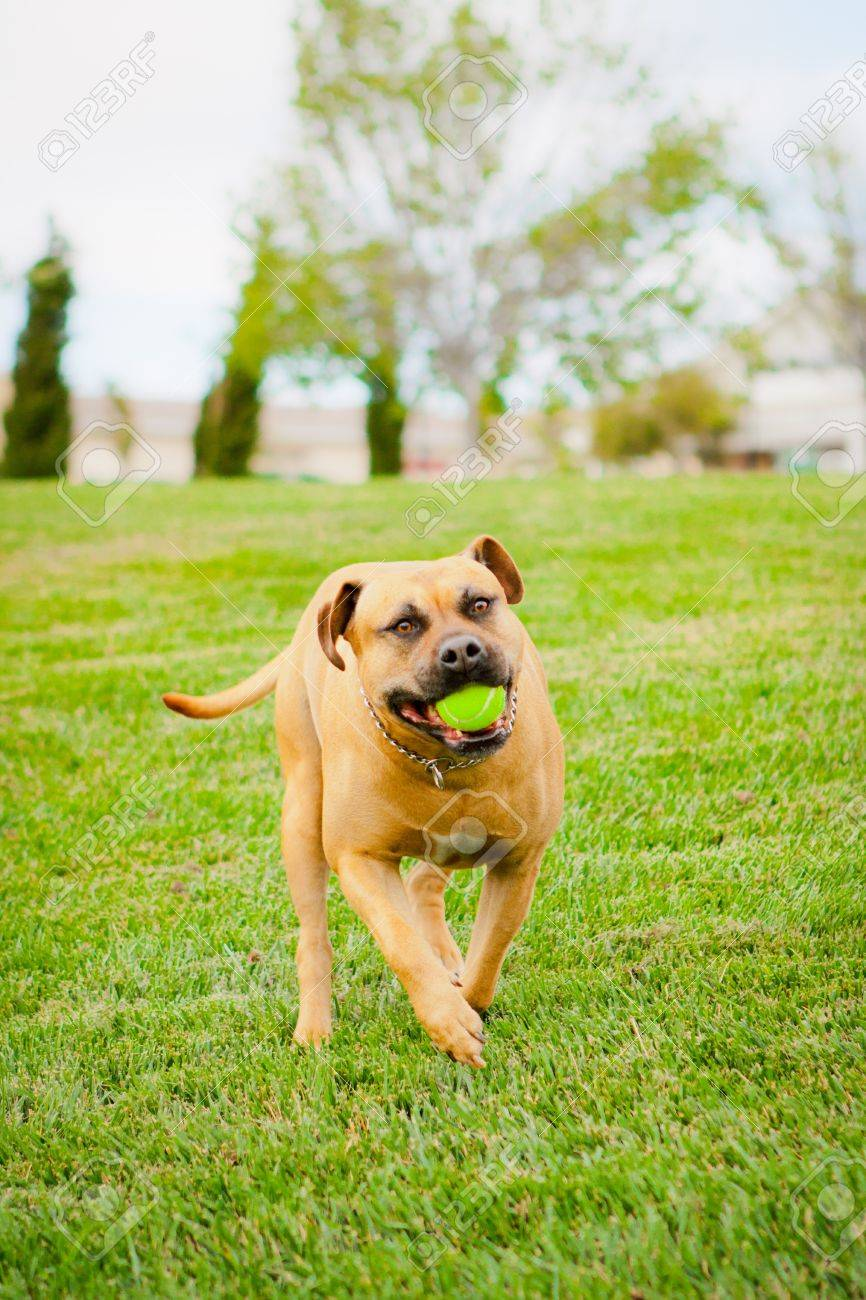 Tan American Staffordshire running in grass with ball in mouth - 14383199