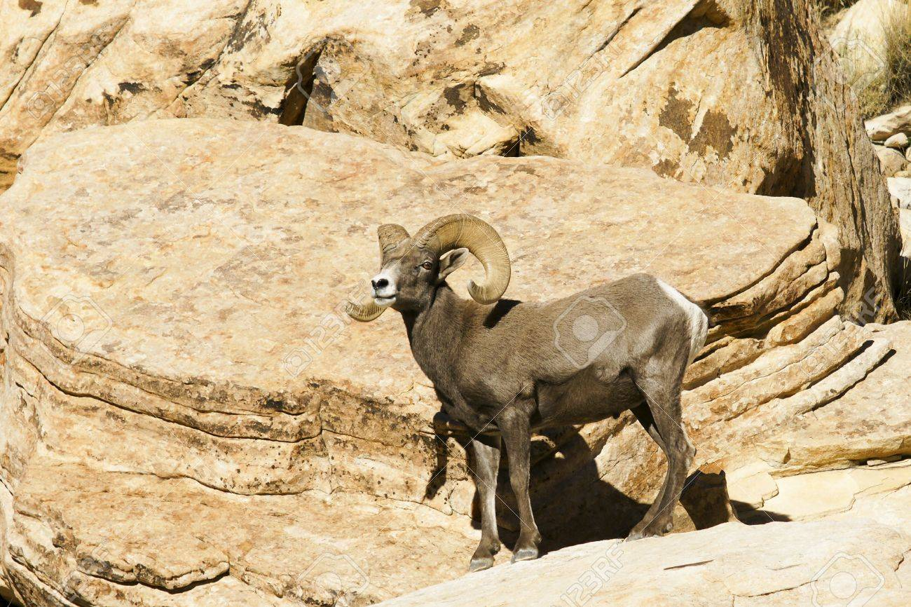 Desert bighorn sheep, Ovis canadensis nelsoni, on a canyon overlook Stock Photo - 16529461