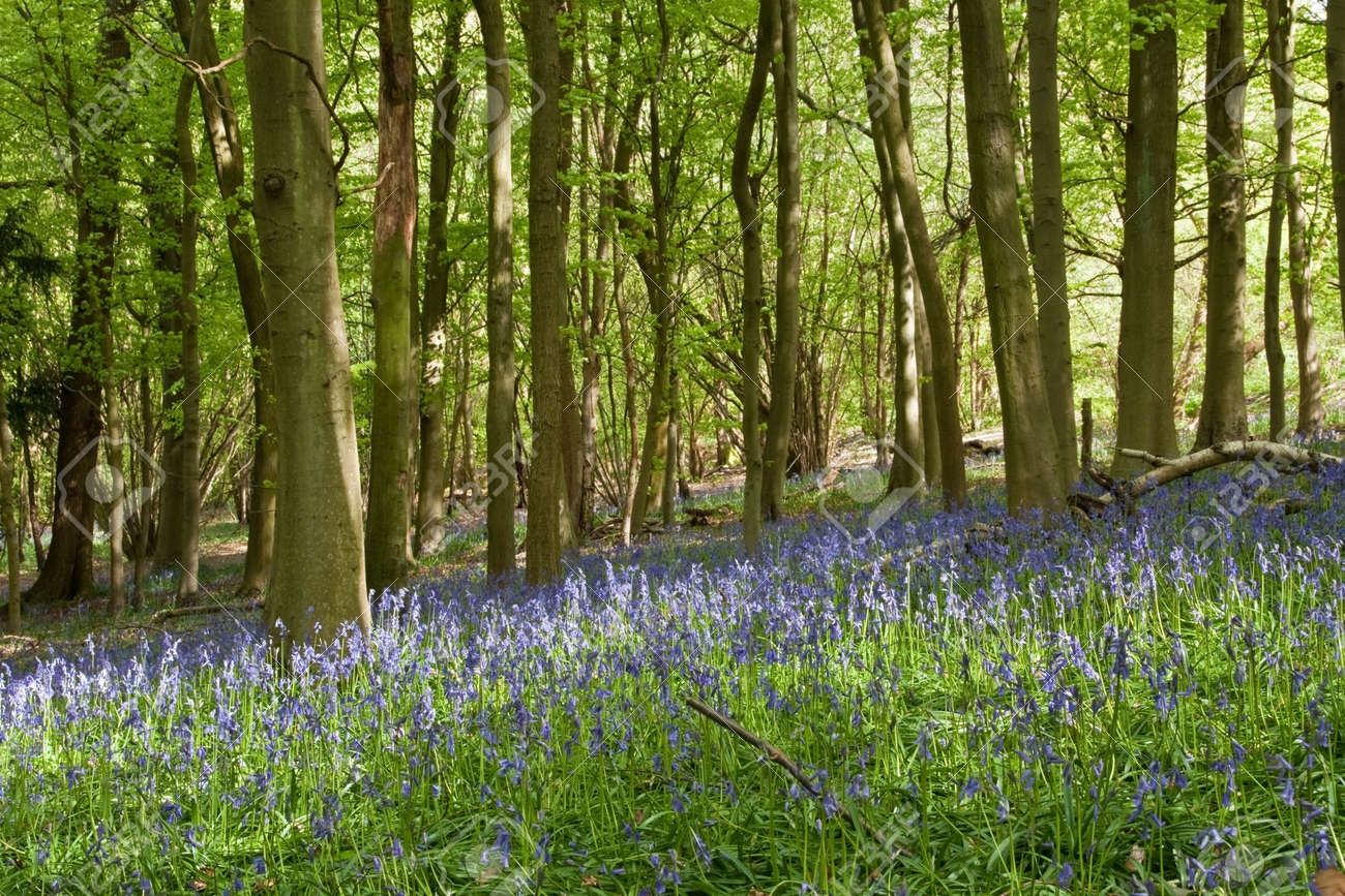 A spring-time blanket of bluelells in an English wood Stock Photo - 7002029