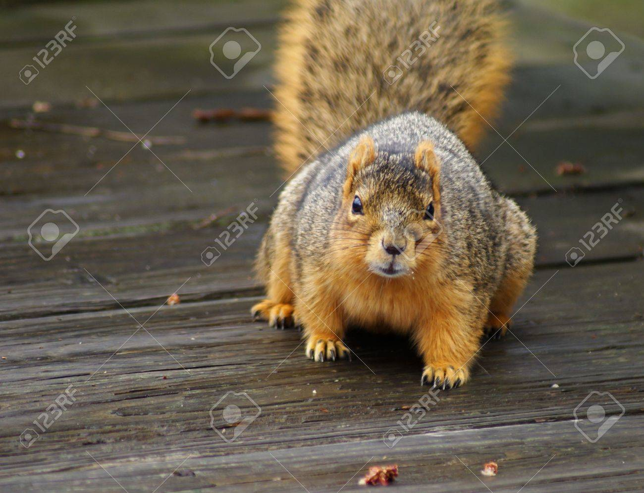 Capture of a curious brown squirrel in early spring. Stock Photo - 4718621