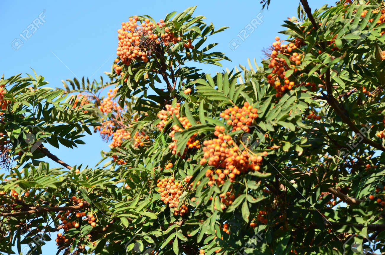 This Picture Shows A Green Rowan Tree With Orange Berries Stock