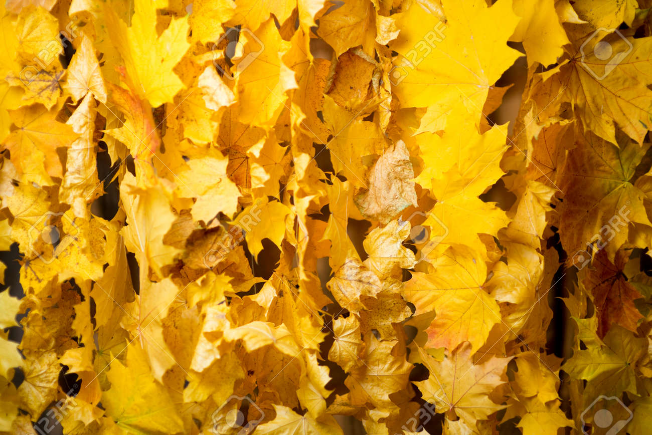 curtain of natural autumn leaves, texture, close up - 147943026