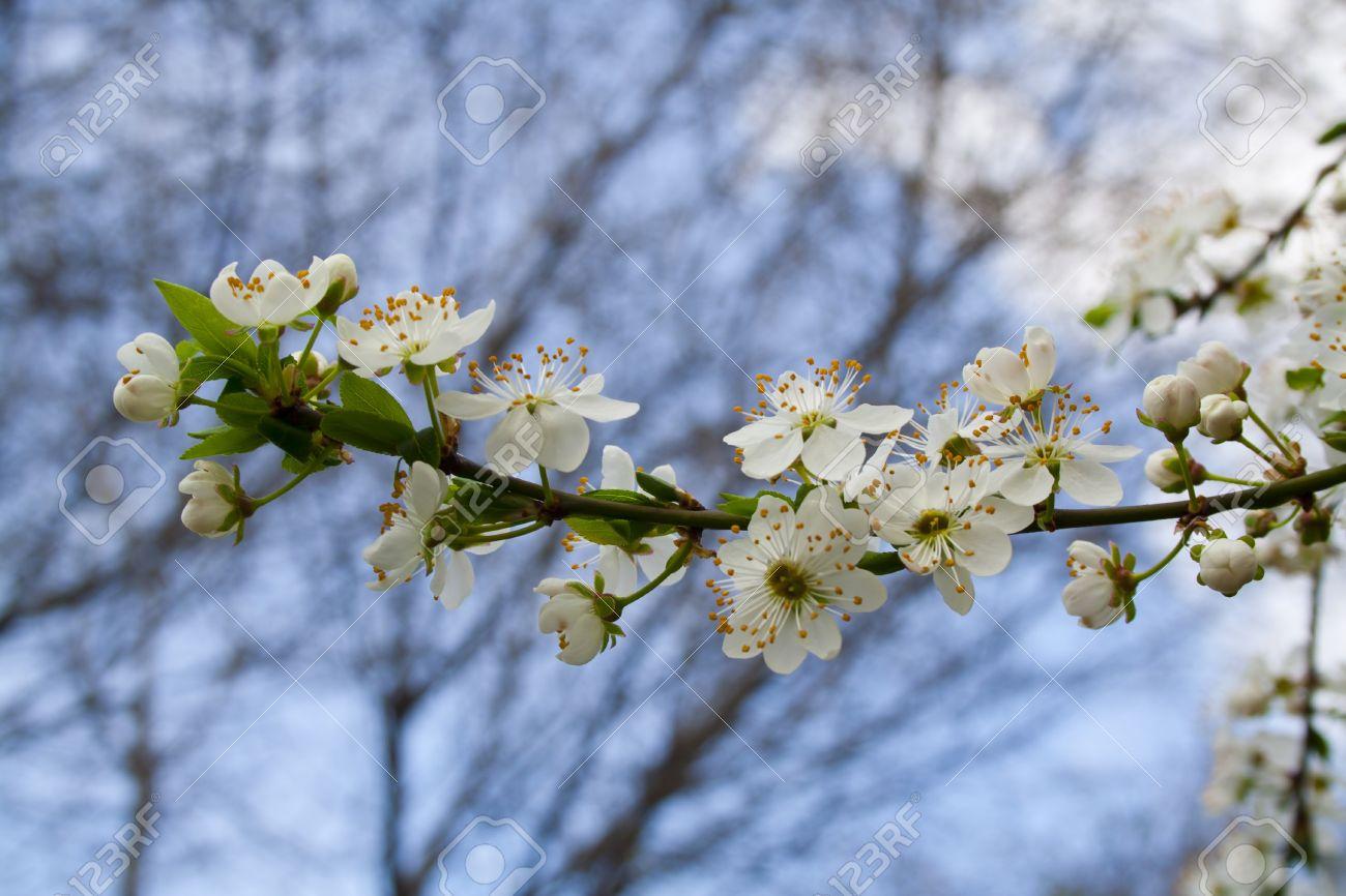 Flowering Tree Blossomed Buds Spring In Prague White Flowers