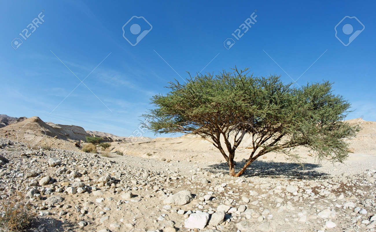 Acacia tree in the desert near Dead Sea, Israel Stock Photo - 6389314