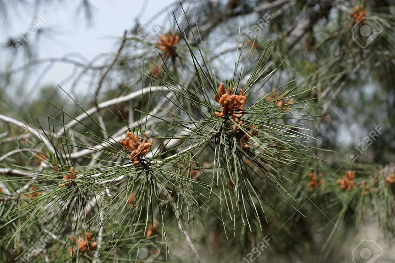 Male pollen cones strobili among needles on Mediterranean pine